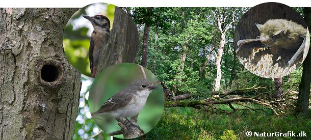 Naturskov. som erstatning for de manglende hule træer bruger mange