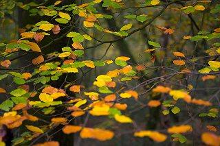 Det grønne klorofyl er forsvundet fra bladene og de røde og gule nuancer træder frem.