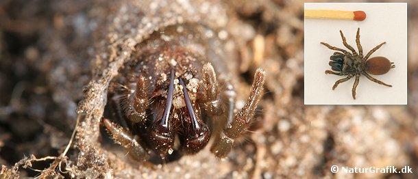 Edderkoppen ses forenden af sit overjordiske rørspind. Når et bytte kommer forbi hugger edderkoppen sine giftkroge op igennem spind og byttet trækkes lynhurtigt ned i den underjordiske tunnel.