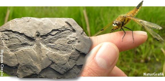 Gamle forsteninger afslører, at guldsmedene levede for millioner af år siden og at de lignede meget de nulevende guldsmede.