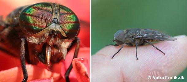 De større klægarter, herunder Hybomitra sp. (billedet til venstre) ses ikke hyppigt på mennesker. Hybomitra-arterne har farvestrålende øjne med røde tværbånd. Hesteklægen og okseklægen (Tabanus) er vores største klæger (foto til højre). De store brummende fluer generer sjældent mennesker, men forvilder sig af og til ind i huse, hvor de fanges i vindueskarmen.