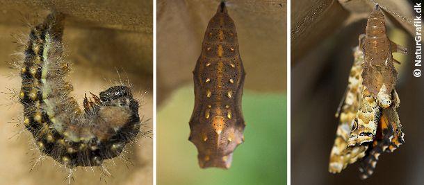 Bilderesultat for puppe sommerfugl